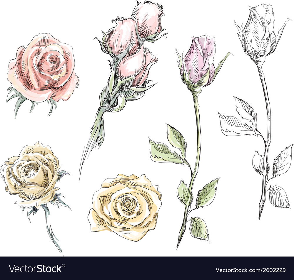 Set of hand drawn roses flowers vector | Price: 1 Credit (USD $1)