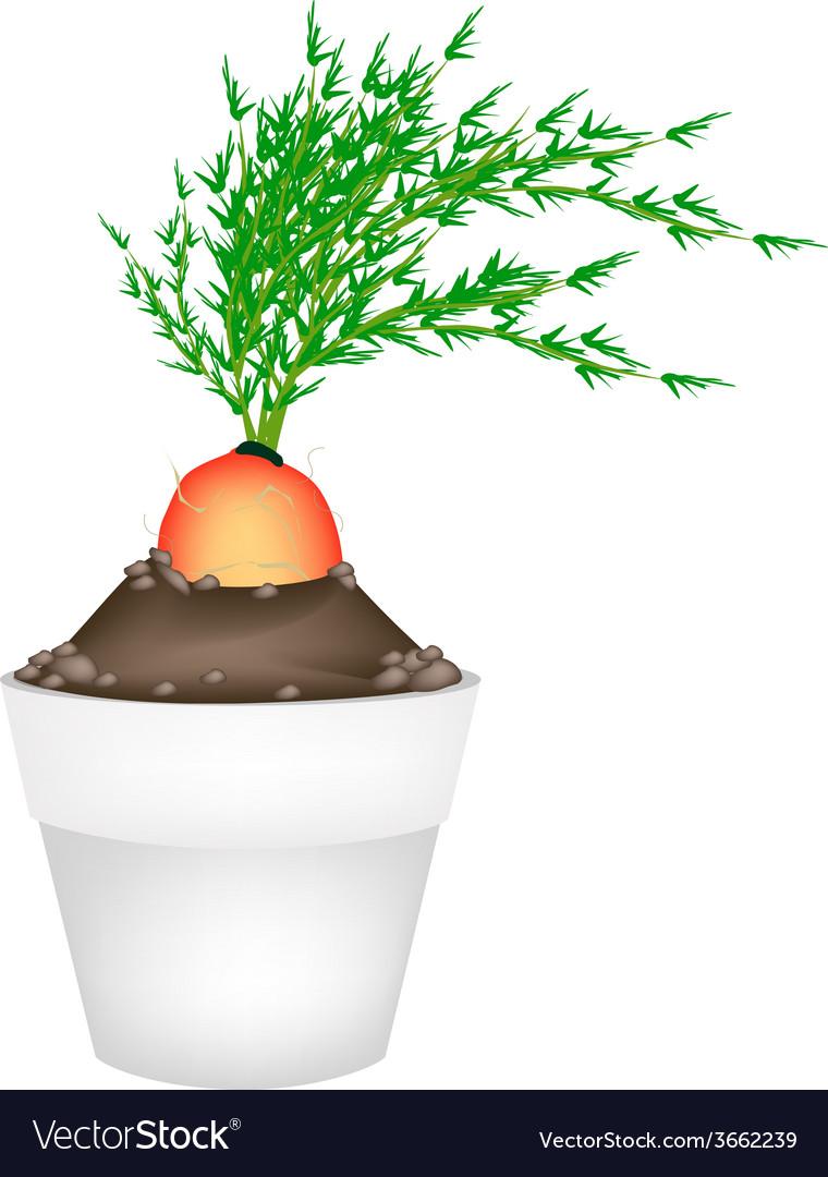 Fresh orange carrot in ceramic flower pots vector | Price: 1 Credit (USD $1)