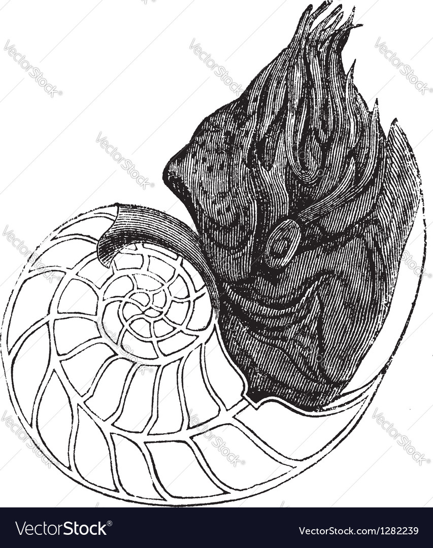 Nautilus vintage engraving vector | Price: 1 Credit (USD $1)
