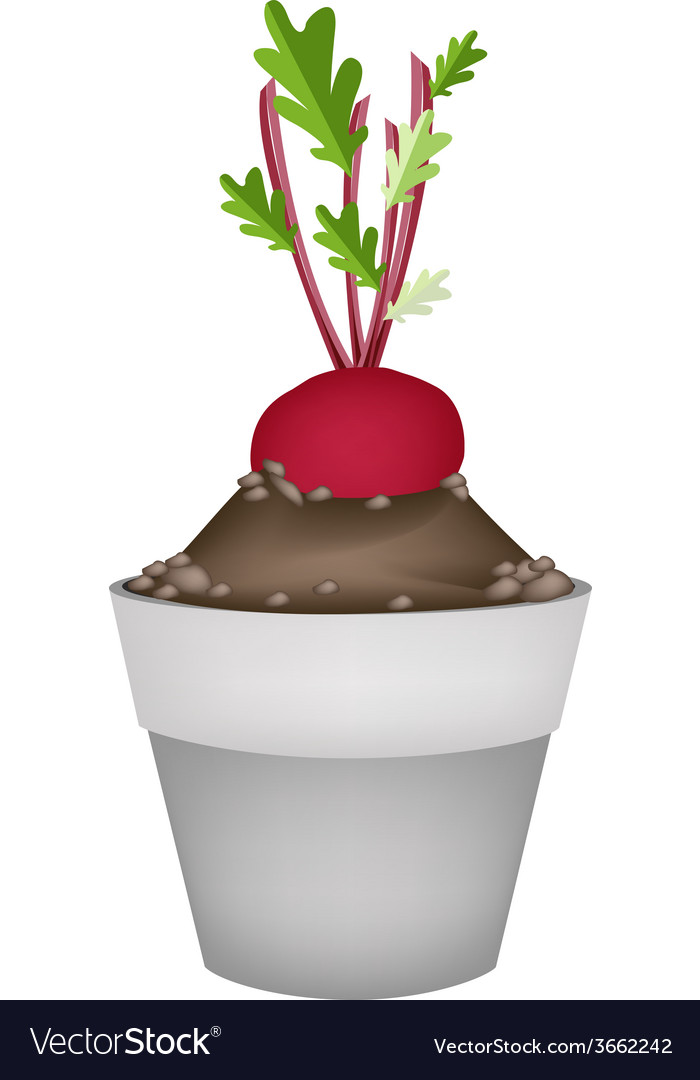 Radish or beet in ceramic flower pots vector | Price: 1 Credit (USD $1)