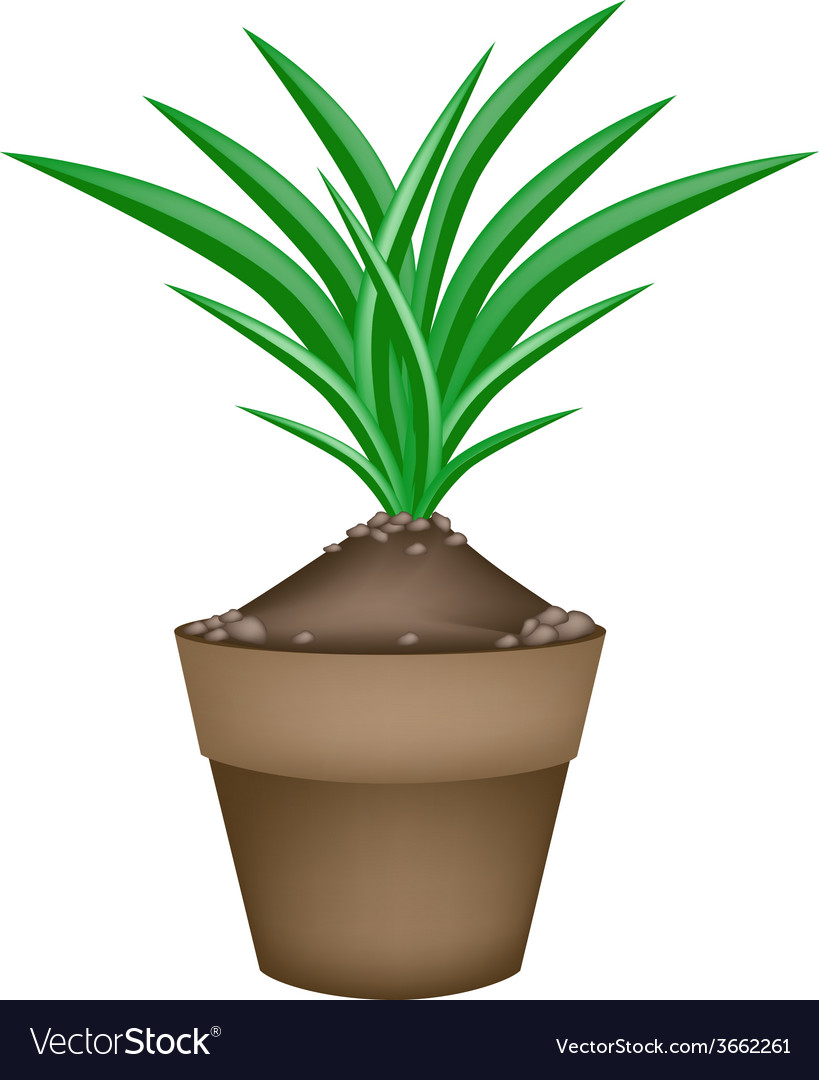 Fresh pandan plant in ceramic flower pots vector | Price: 1 Credit (USD $1)