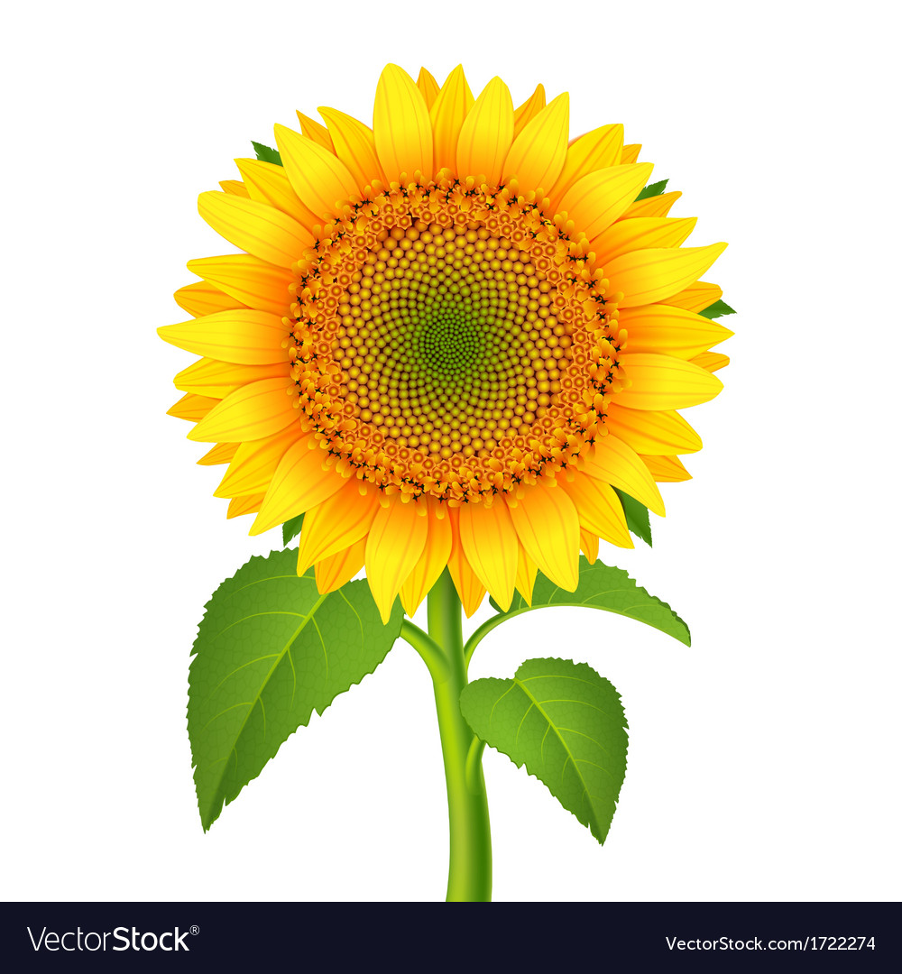 Sunflower with pedicle vector | Price: 1 Credit (USD $1)