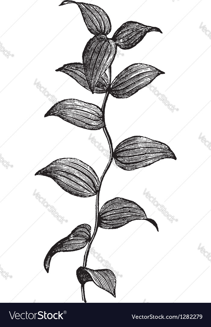 Asparagus fern vintage engraving vector | Price: 1 Credit (USD $1)