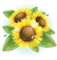 Beautiful sunflowers and green leaves vector
