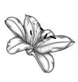 Lily black and white isolated on white background vector