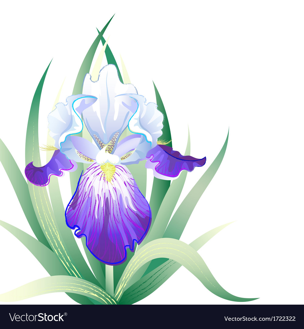 Holidays card with iris flower vector | Price: 1 Credit (USD $1)