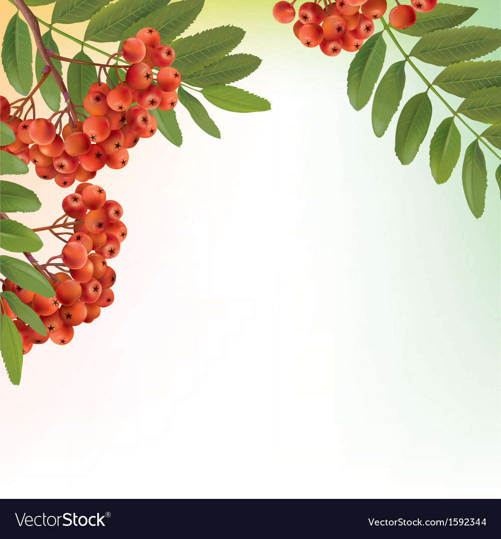 Background with bunch of rowan vector | Price: 1 Credit (USD $1)