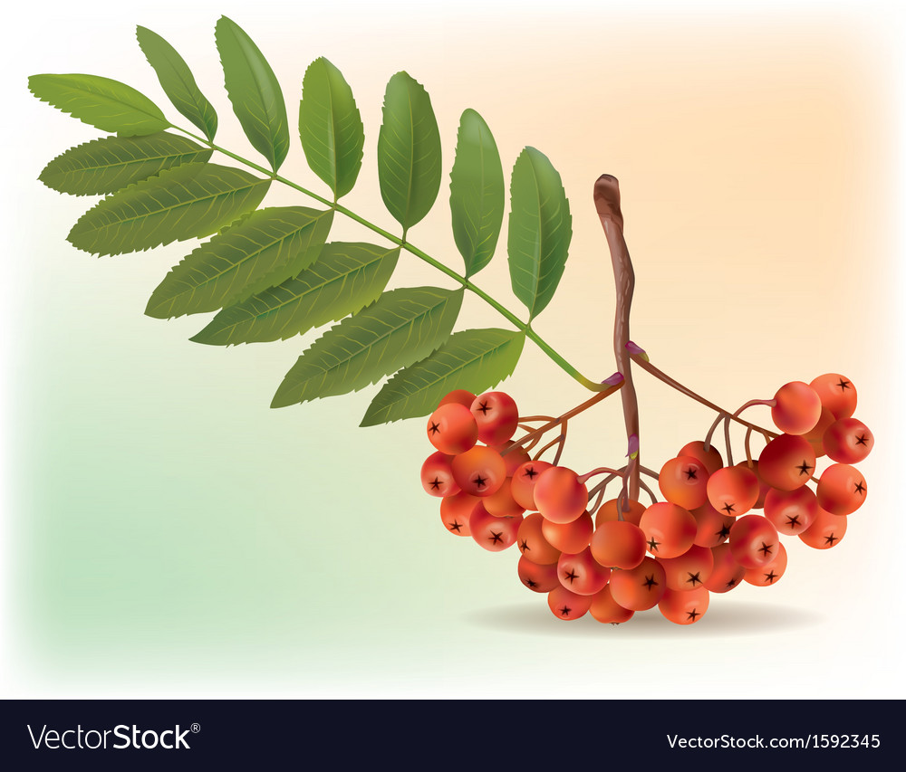 Bunch of ripe rowan vector | Price: 1 Credit (USD $1)