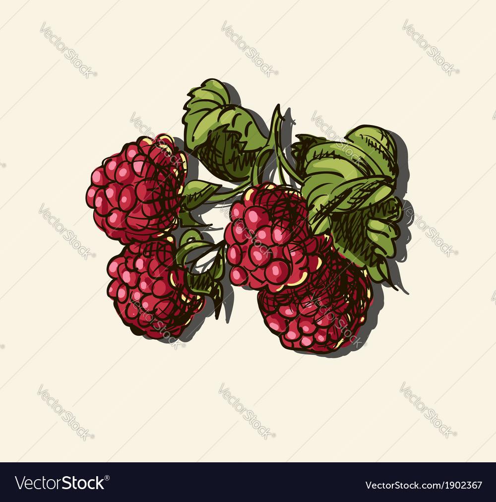 Raspberries sketch vector