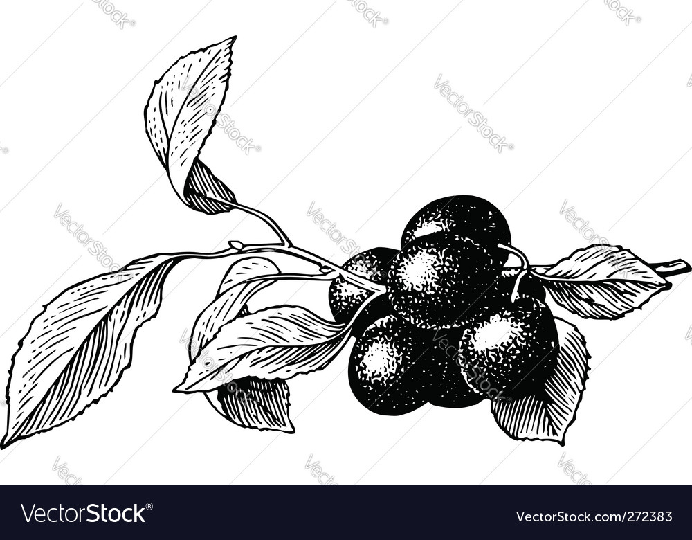 Plums prunus insititia vector | Price: 1 Credit (USD $1)