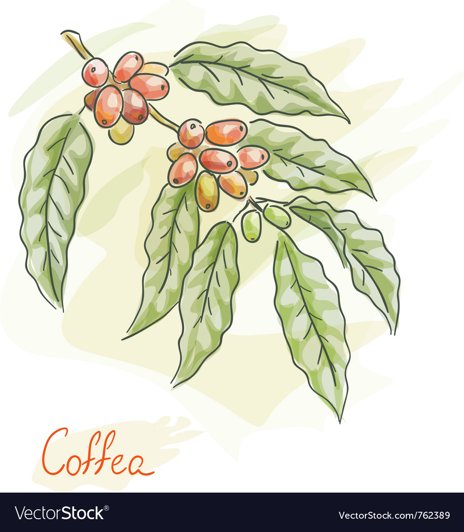 Twig of coffea vector | Price: 1 Credit (USD $1)