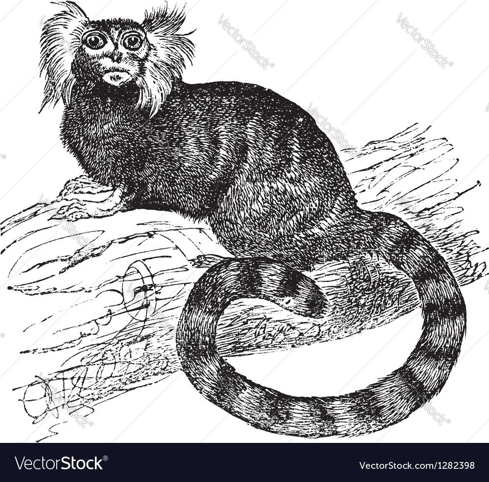 Common marmoset vintage engraving vector | Price: 1 Credit (USD $1)