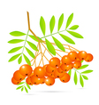 Rowan berries isolated on white background vector
