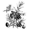 Common olive vintage engraving vector