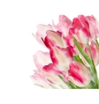 Tulip flowers isolated on white eps 10 vector