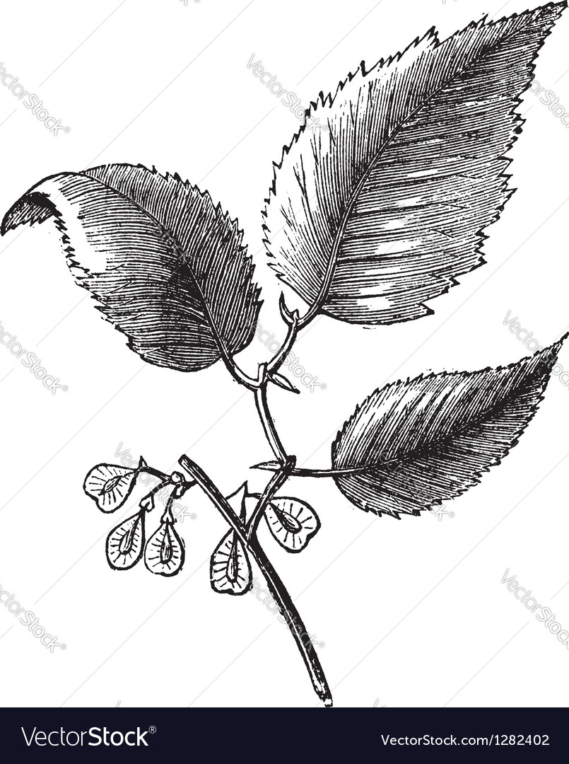 Slippery elm vintage engraving vector | Price: 1 Credit (USD $1)
