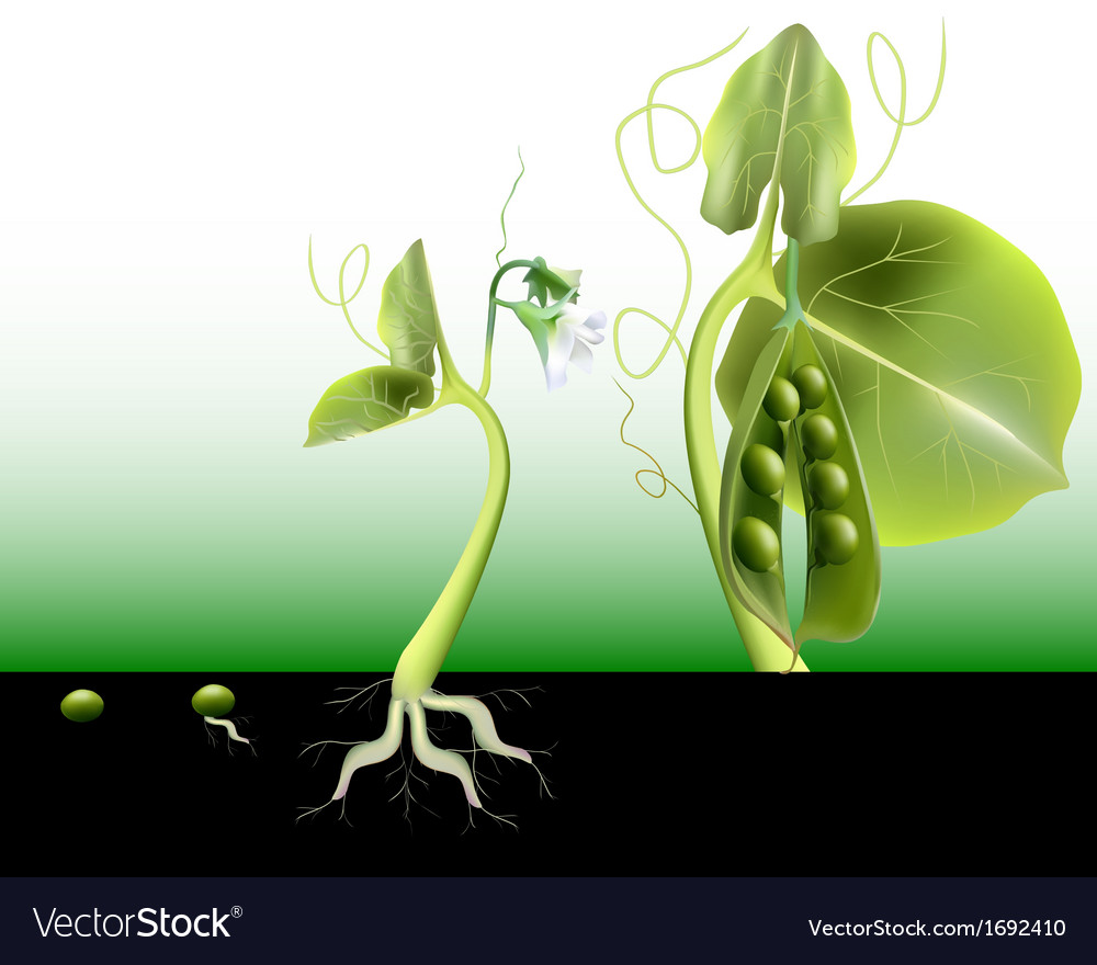 Growing peas vector | Price: 1 Credit (USD $1)