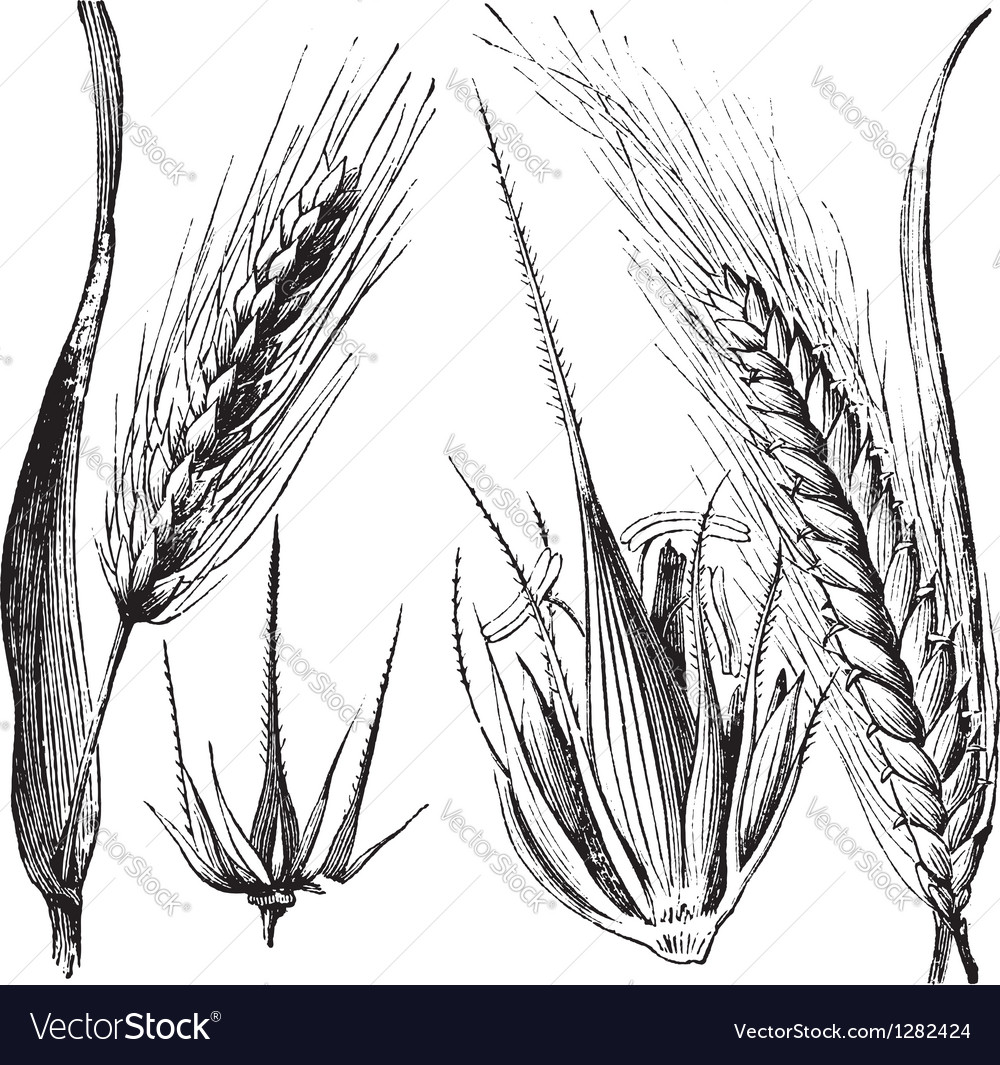 Common barley vintage engraving vector | Price: 1 Credit (USD $1)