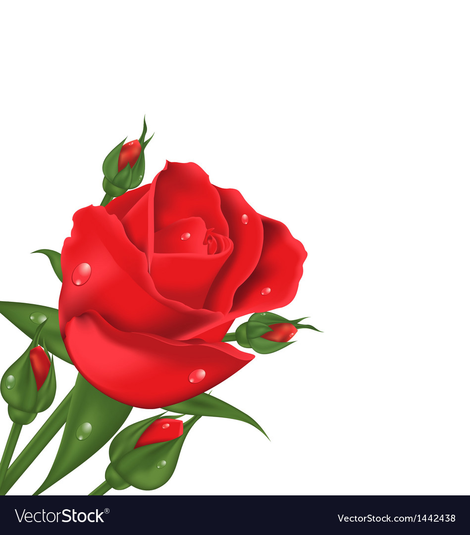 Red rose isolated on white background vector | Price: 1 Credit (USD $1)