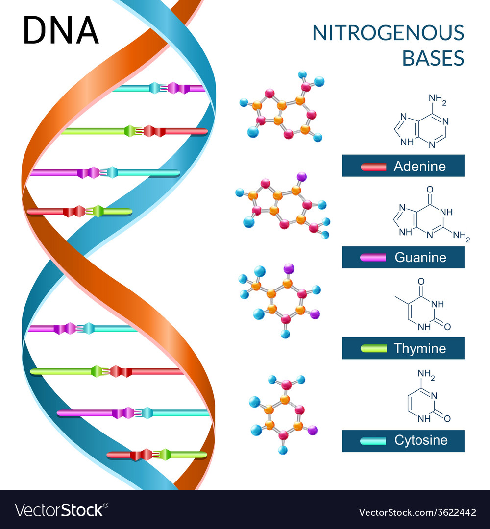 Dna bases poster vector | Price: 1 Credit (USD $1)