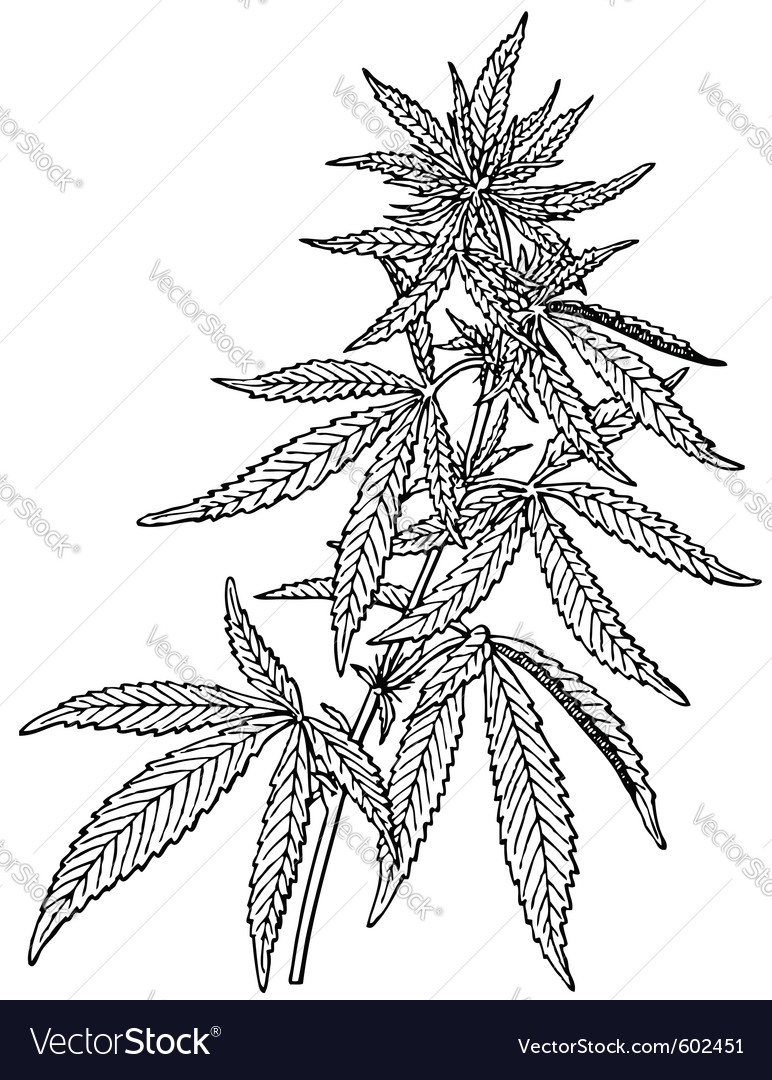 Plant cannabis sativa vector | Price: 1 Credit (USD $1)