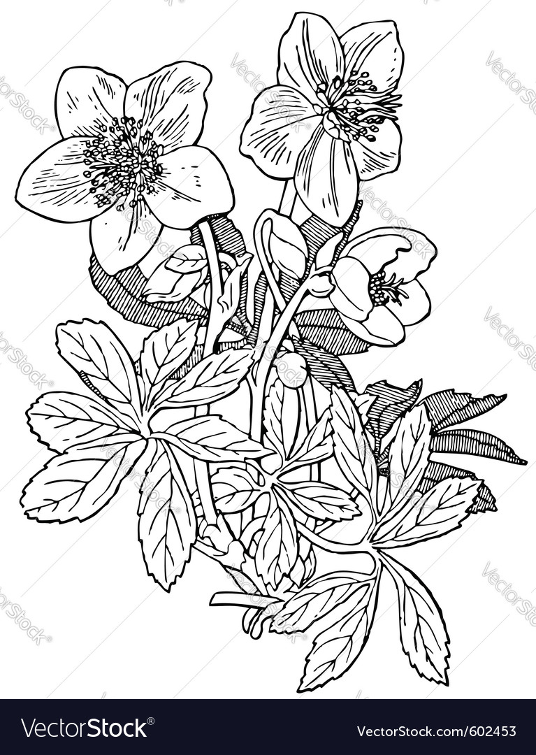 Plant helleborus niger vector | Price: 1 Credit (USD $1)