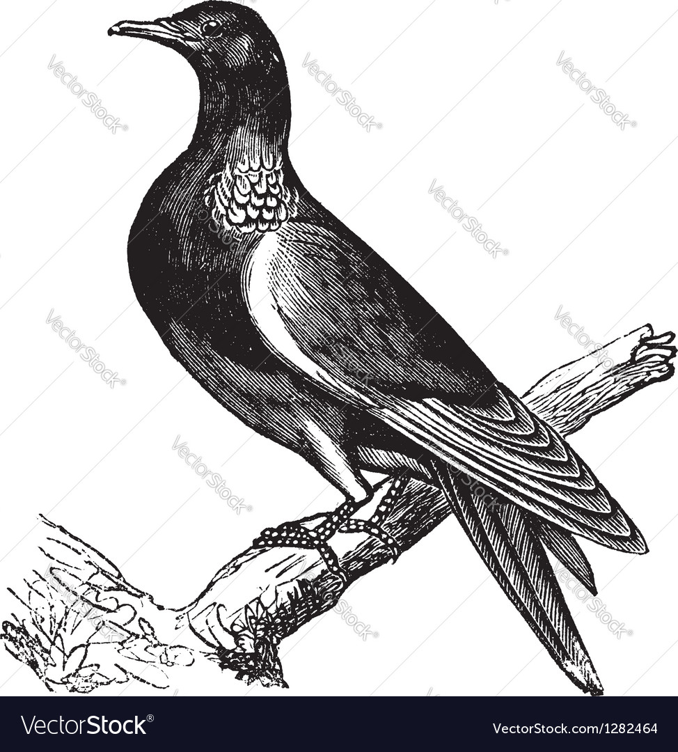 Wood pigeon vintage engraving vector | Price: 1 Credit (USD $1)