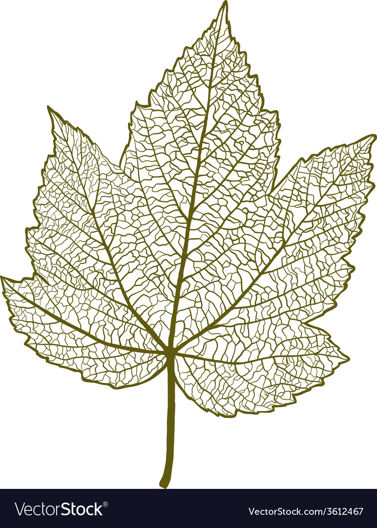 Maple leaf isolated vector | Price: 1 Credit (USD $1)