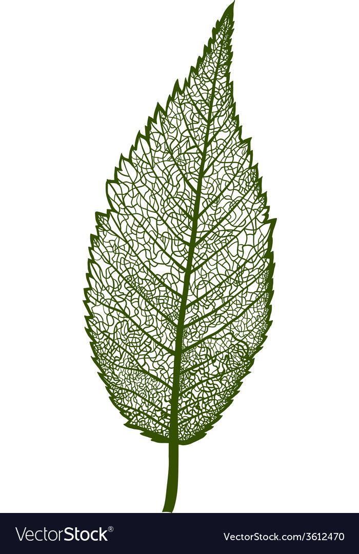 Leaf isolated vector | Price: 1 Credit (USD $1)