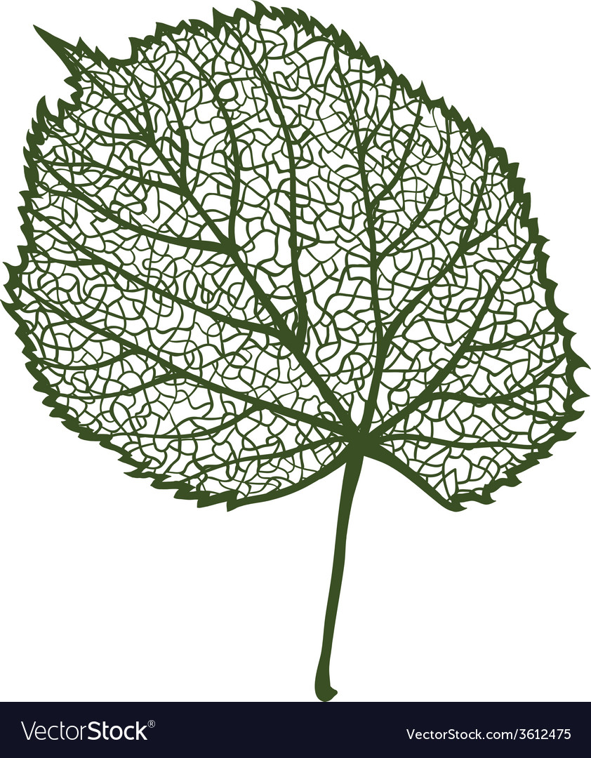 Linden leaf isolated on white background vector | Price: 1 Credit (USD $1)