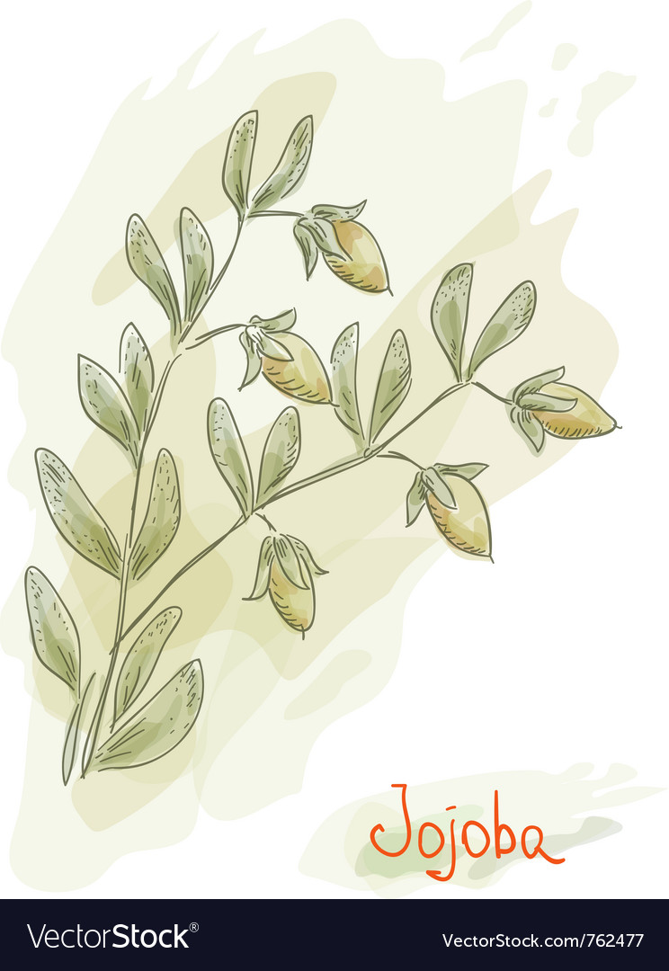 Jojoba branch vector | Price: 1 Credit (USD $1)