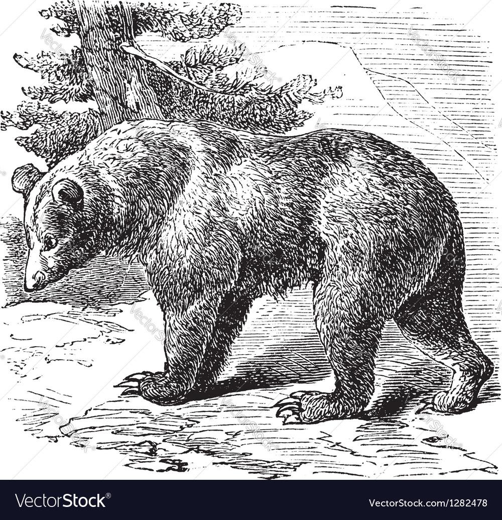 Cinnamon bear vintage engraving vector | Price: 1 Credit (USD $1)