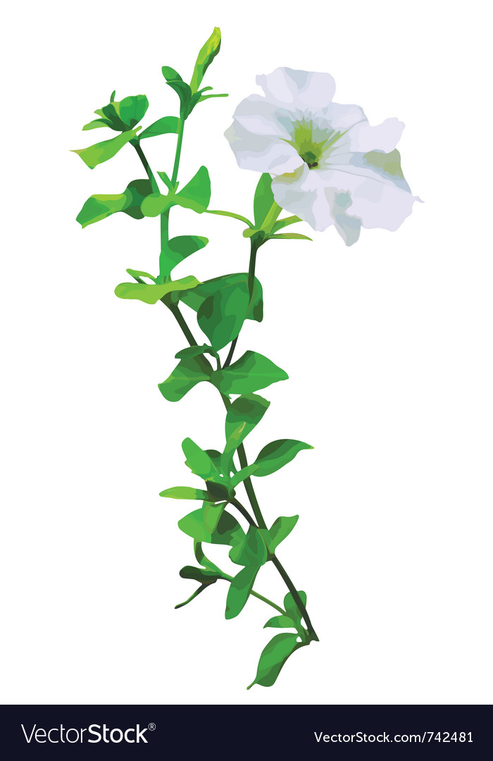 White petunia vector | Price: 1 Credit (USD $1)
