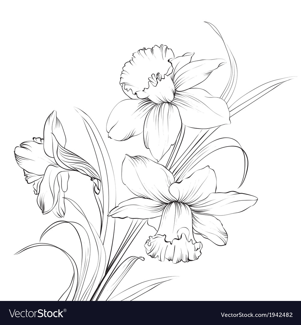 Daffodil flower or narcissus isolated on white vector | Price: 1 Credit (USD $1)