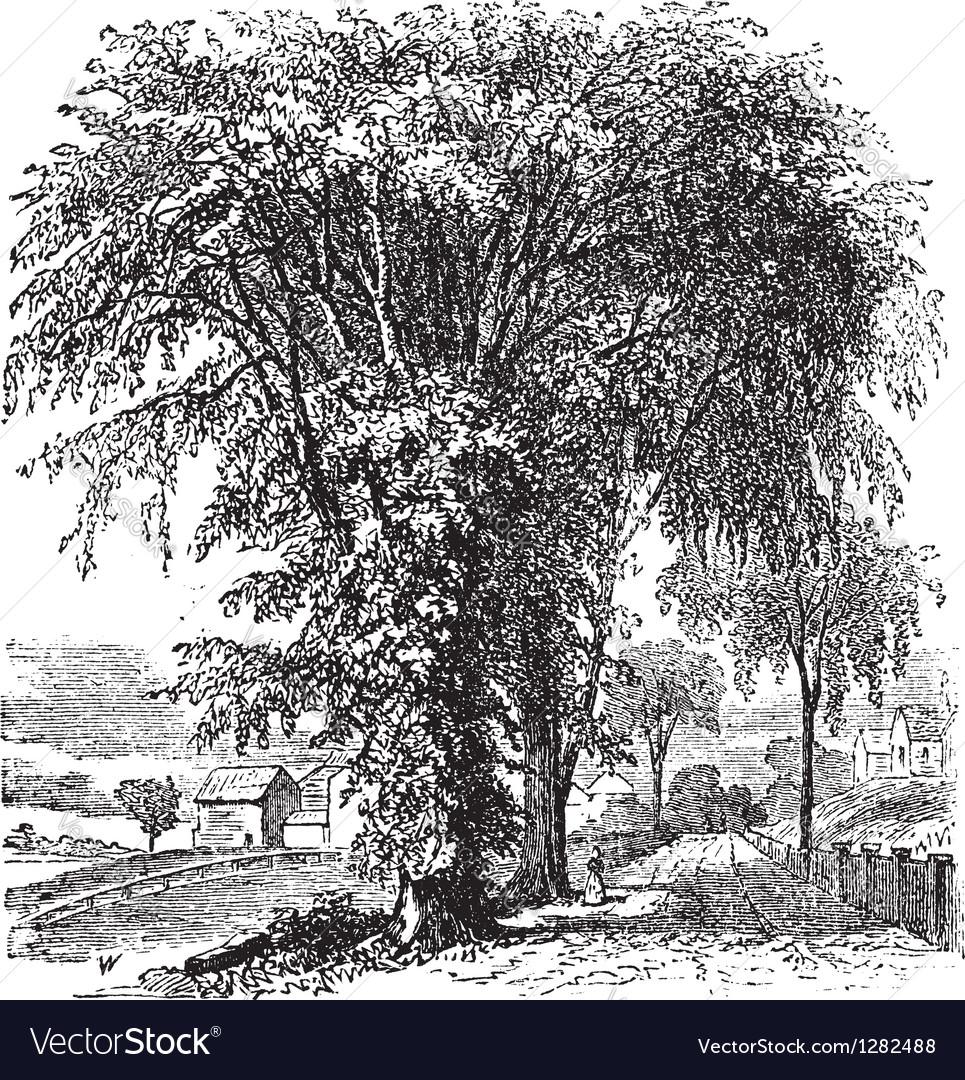 American elm vintage engraving vector | Price: 1 Credit (USD $1)