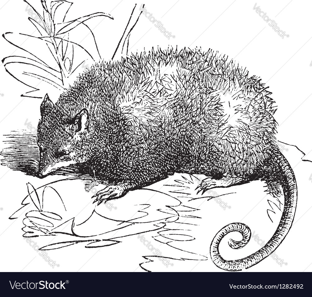 Possum vintage engraving vector | Price: 1 Credit (USD $1)