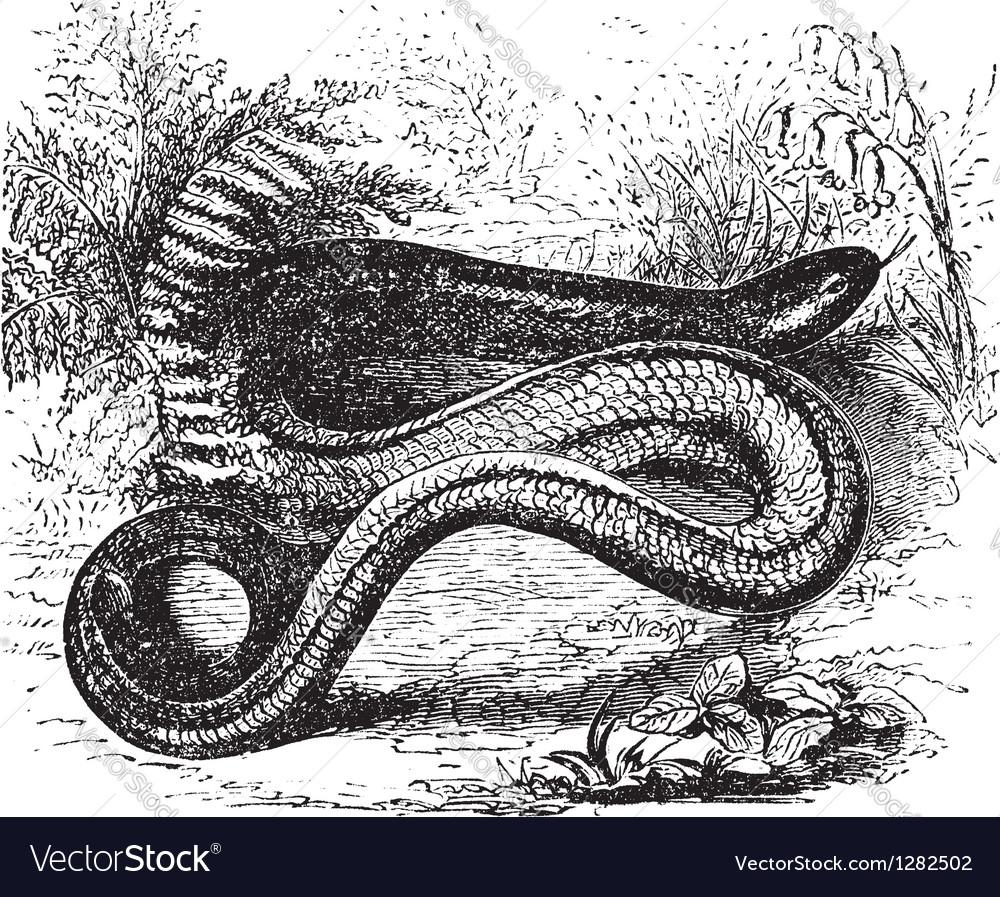 Slow worm vintage engraving vector   Price: 1 Credit (USD $1)