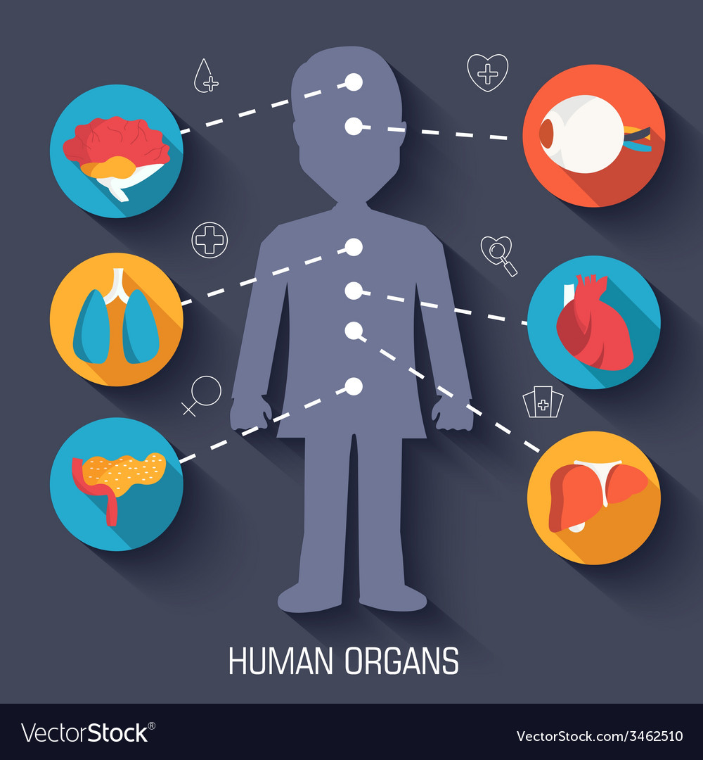 Flat human organs icons concept background vector | Price: 1 Credit (USD $1)