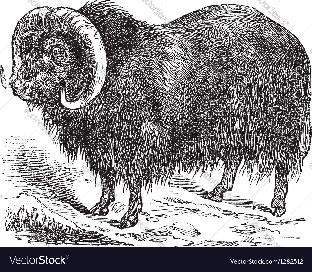 Musk ox vintage engraving vector | Price: 1 Credit (USD $1)