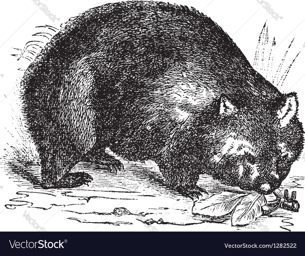 Common wombat vintage engraving vector | Price: 1 Credit (USD $1)
