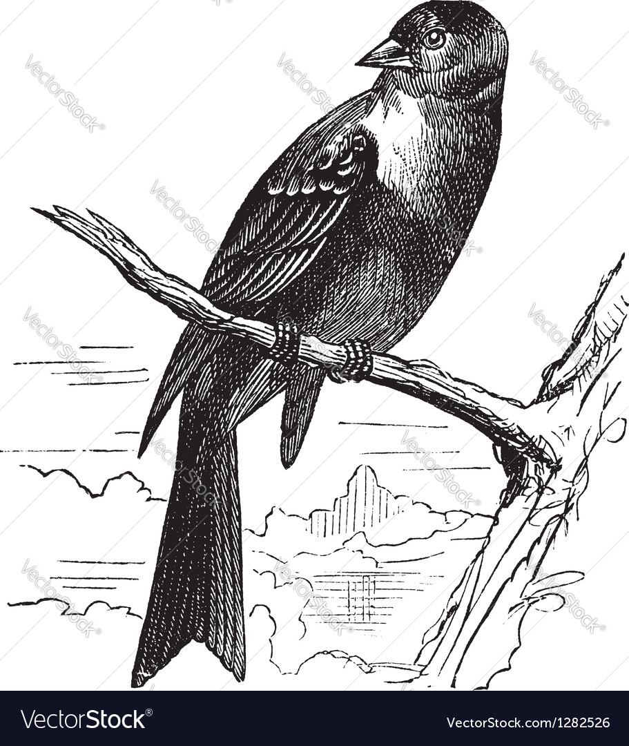 Ortolan bird vintage engraving vector | Price: 1 Credit (USD $1)