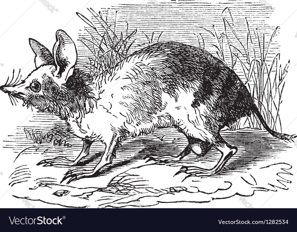 Barred bandicoot vintage engraving vector | Price: 1 Credit (USD $1)