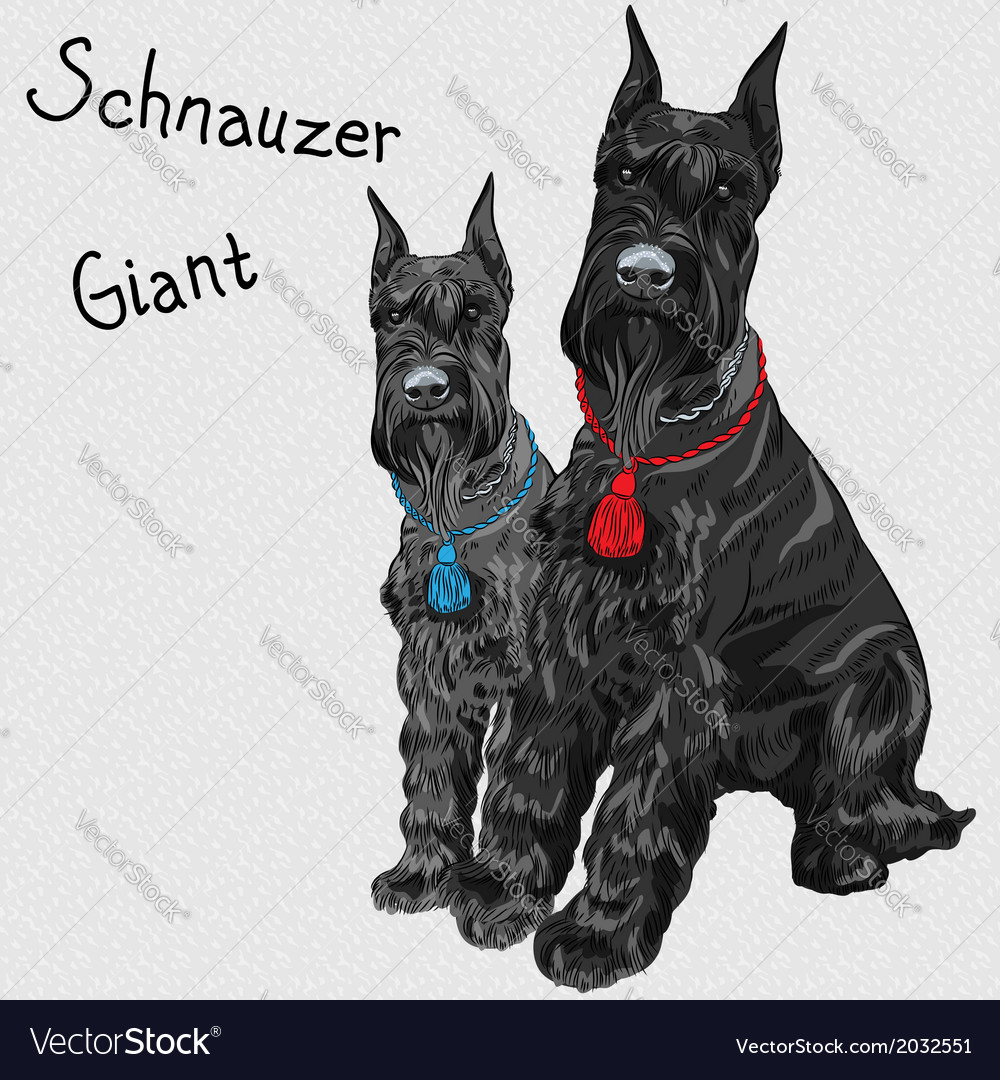 Dogs breed giant schnauzer color black vector | Price: 1 Credit (USD $1)