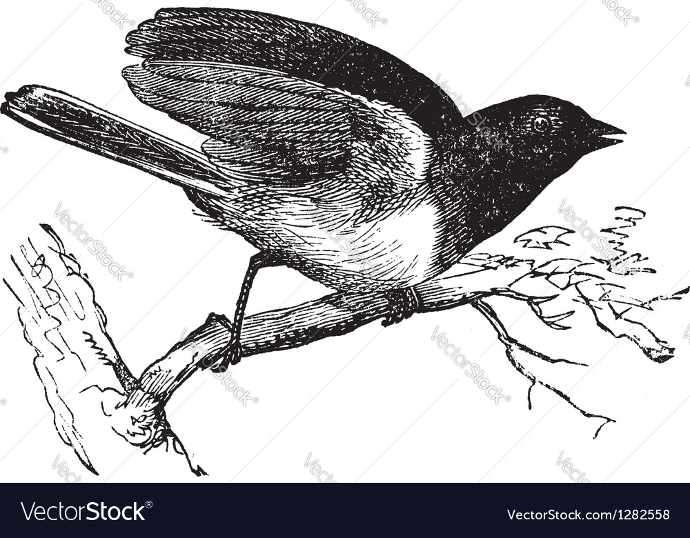Dark-eyed junco vintage engraved vector | Price: 1 Credit (USD $1)