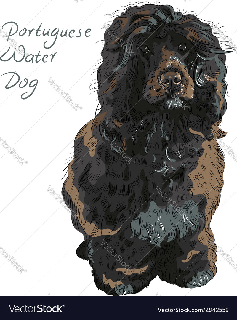 Dog breed portuguese water dog vector | Price: 1 Credit (USD $1)