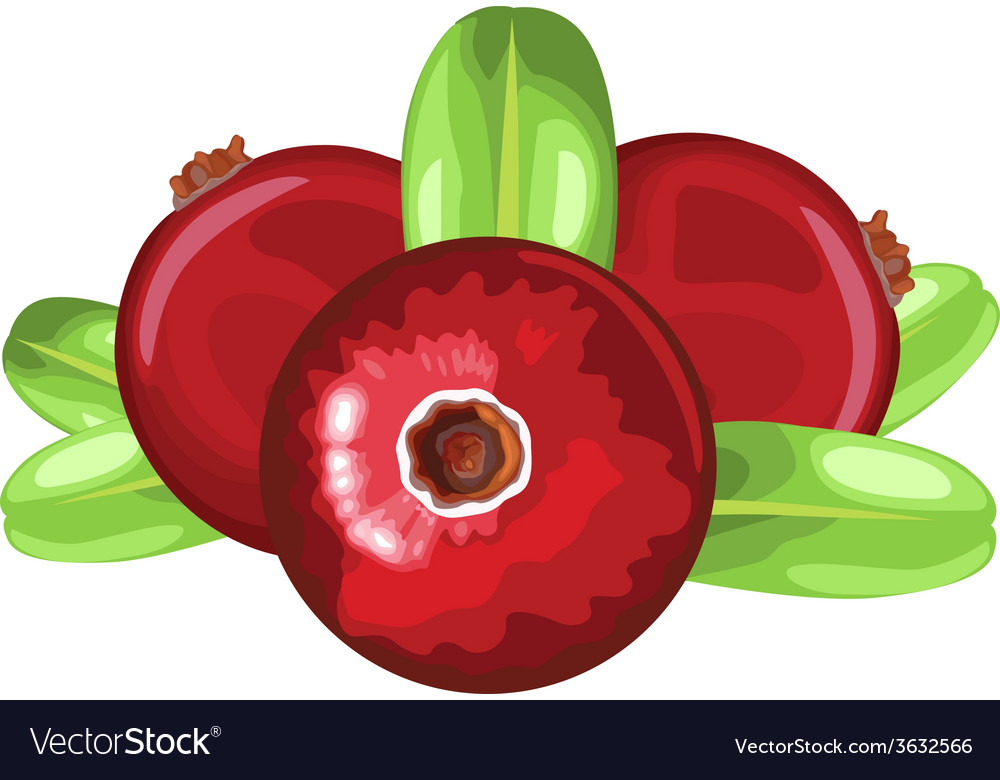 Cranberry vector | Price: 1 Credit (USD $1)