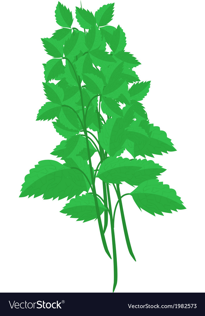 Fresh holy basil plants on white background vector   Price: 1 Credit (USD $1)