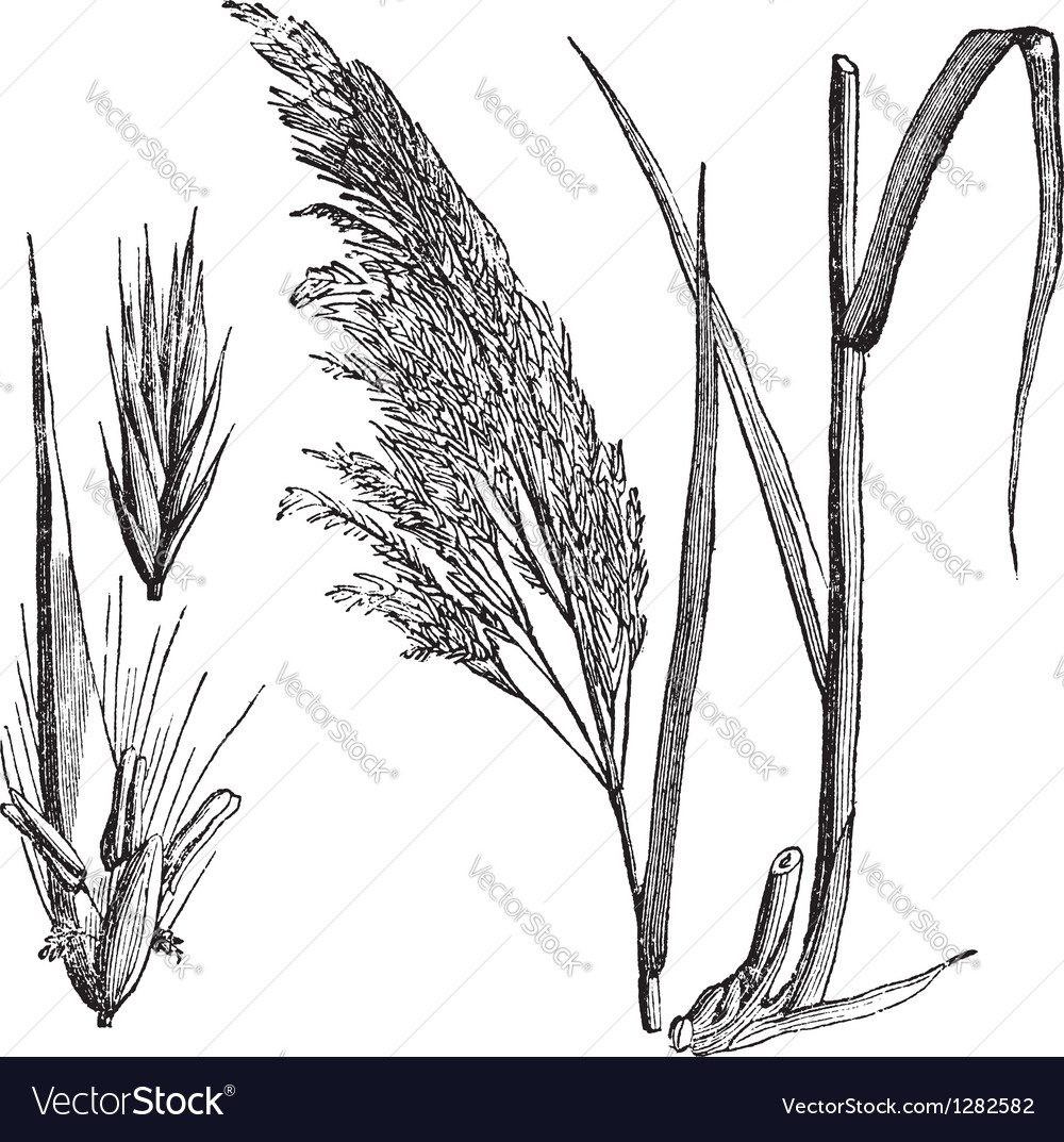 Common reed vintage engraving vector | Price: 1 Credit (USD $1)
