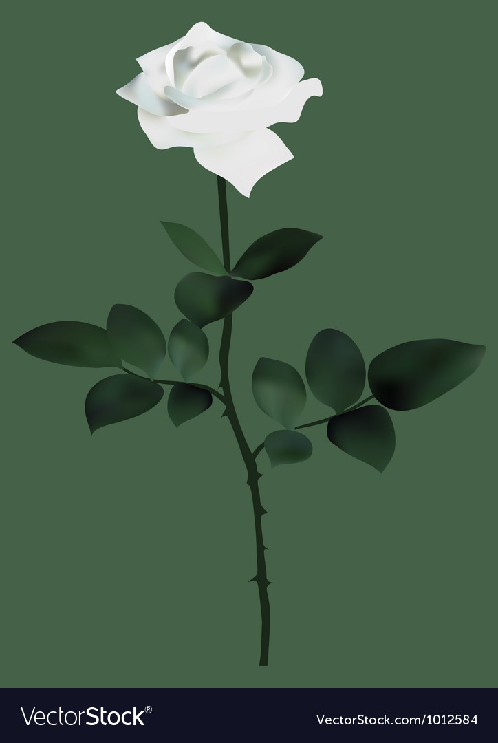 White rose vector | Price: 1 Credit (USD $1)