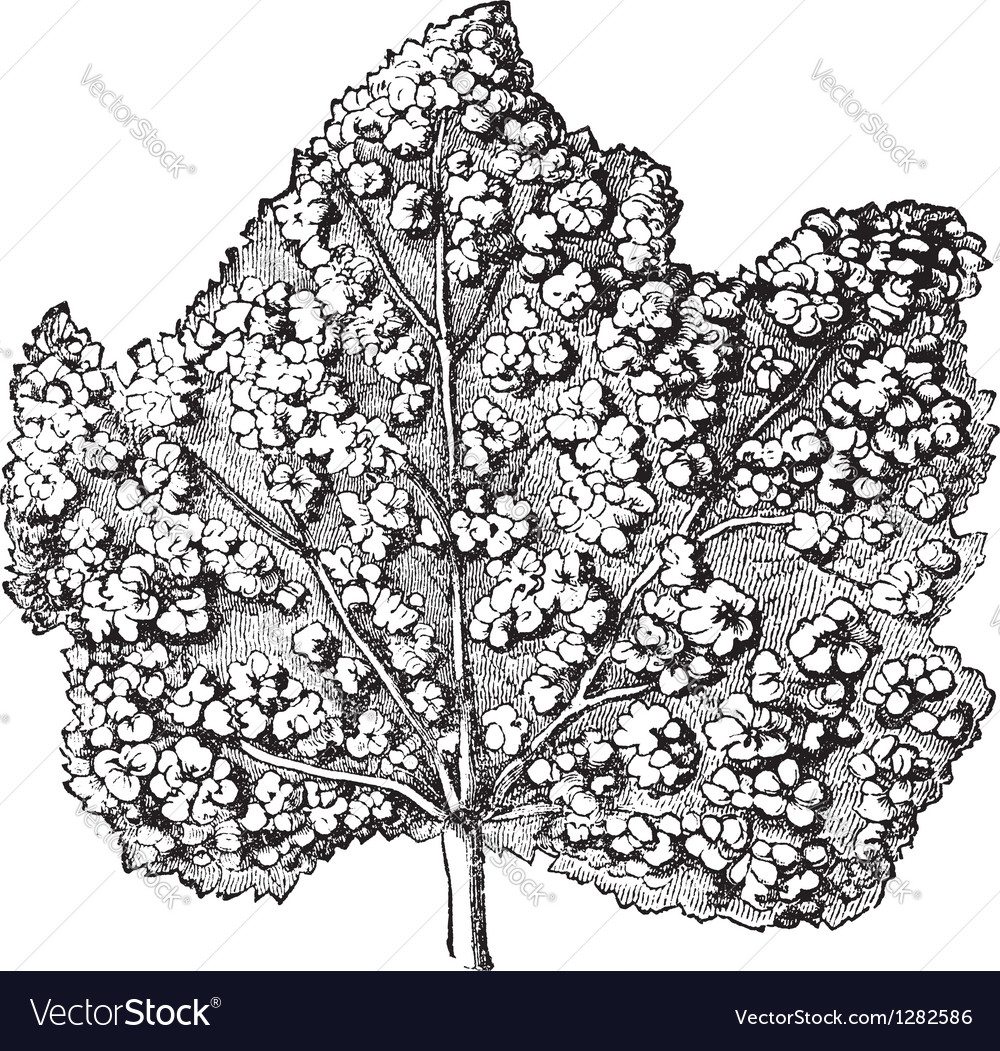 Galls leave engraving vector | Price: 1 Credit (USD $1)